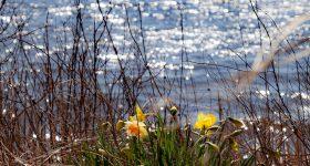 Daffodil Nantucket