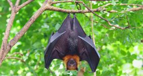 Bats Not To Blame for COVID-19